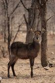Waterbuck (Kobus ellipsiprymnus) — Stock Photo