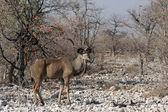 Greater Kudu (Tragelaphus strepsiceros) — Стоковое фото