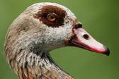 нильский гусь (alopochen aegyptiacus). — Стоковое фото