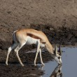 Springbok — Stock Photo #39773247