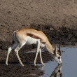 Stock Photo: Springbok
