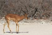 Black-faced Impala (Aepyceros melampus petersi) — Stock Photo
