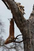 Dead Impala — Stock Photo
