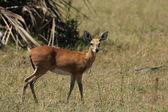 Steenbok (Raphicerus campestris) — Stock fotografie