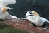 Northern Gannets (Morus bassanus) — Stock Photo