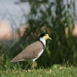 Stock Photo: Masked Lapwing (Vanellus miles)