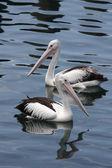 австралийский пеликанов (pelecanus conspicillatus) — Стоковое фото