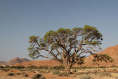 Tree in the desert — Stock Photo