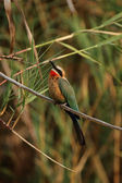 White-fronted Bee-eater — Stock Photo