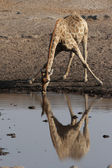 Giraffe (Giraffa camelopardis) — Stock Photo
