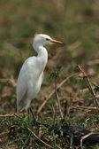 Yellow-billed Egret (Ardea intermedia) — Stock Photo