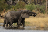 Elephants (Loxodonta africana) — Stock Photo