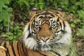 Sumatran tiger (Panthera tigris sumatrae) — Stock Photo