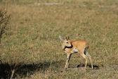 Steenbok (Raphicerus campestris) — Stock Photo