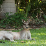 Eastern Grey Kangaroo (Macropus giganteus) — Stock Photo