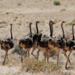 Ostriches — Stock Photo #40293563