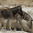 Plains Zebra — Stock Photo #40295701