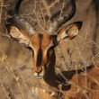 Stock Photo: Black-faced Impala