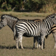 Plains Zebra — Stock Photo #40296331