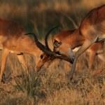 Fighting Impalas (Aepyceros melampus) — Stock Photo