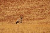 Gemsbok (Oryx gazella) — Foto de Stock