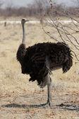Female Ostrich — Stockfoto