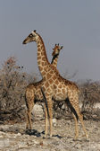 Two Giraffes (Giraffa camelopardis) — Stock Photo