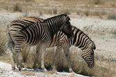 Plains Zebra — Stockfoto