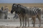 Plains Zebra (Equus quagga) — Foto de Stock