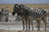 Plains Zebra (Equus quagga) — Стоковое фото