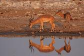 Black-faced Impala — Stock Photo