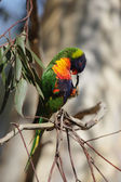 Rainbow Lorikeet (Trichoglossus haematodus) — Stock Photo