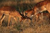 Combattendo l'impala (aepyceros melampus) — Foto Stock