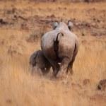 Hook-lipped Rhinoceros — Stock Photo