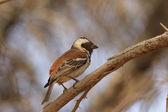Cape Sparrow (Passer melanurus) — Stock Photo