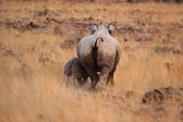 Hook-lipped Rhinoceros — Stock Photo