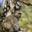 Vervet Monkey (Cercopithecus pygerythrus) — Stock Photo