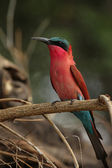 Carmine Bee-eater — Stock Photo