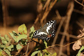 Citrus Swallowtail (Papilio demodocus) — Stock Photo