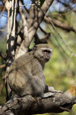 Mono vervet (cercopithecus pygerythrus) — Foto de Stock