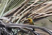 Little Bee-eater (Merops pusillus) — Foto de Stock