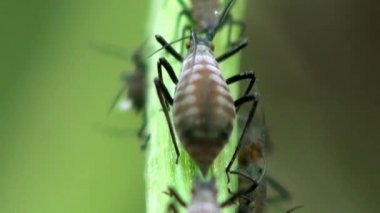 вишня тля макро насекомое — Стоковое видео