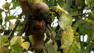 Autumn rotten apple — Stock Video