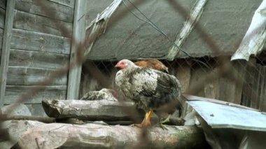 Günlükleri başındaki siyah tavuk — Stok video