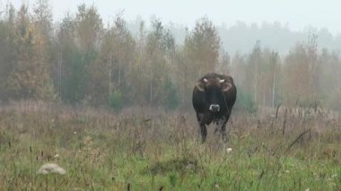 Brown Cow in background autumn meadow eating grass — 图库视频影像