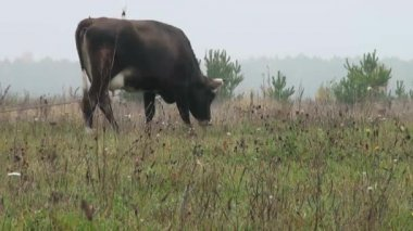 Brown Cow in background autumn meadow eating grass — Stock Video