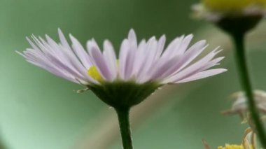 Petite fleur macro oublier herbe — Vidéo