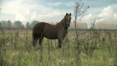 Brown Horse on pasture for background field — Stock Video