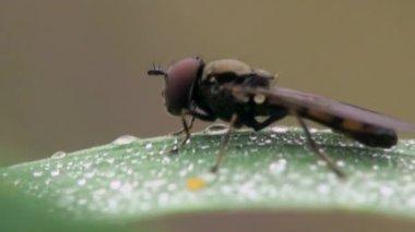 Macro, little fly sitting on dewy leaf — Stock Video