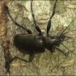 Wideo stockowe: Ground Beetle pricked up her ears and looks forward insect